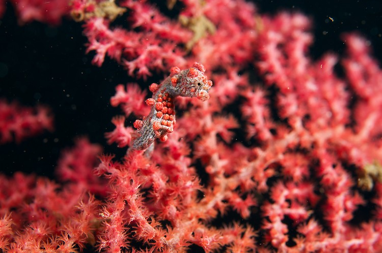 bargibanti pygmy seahorse 2