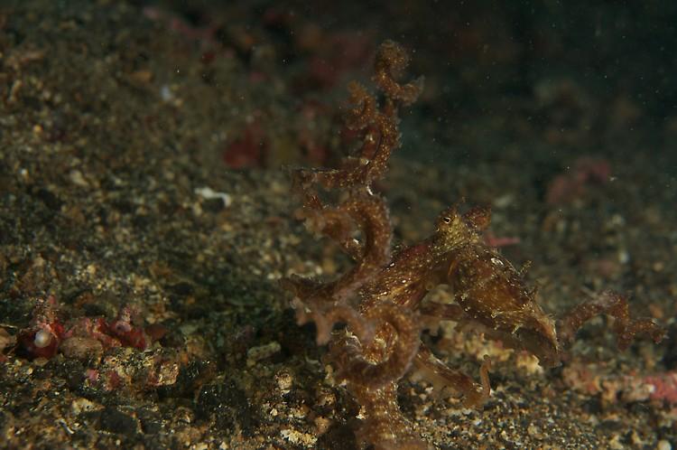 alagae octopus (abdopus aculeatus) 1