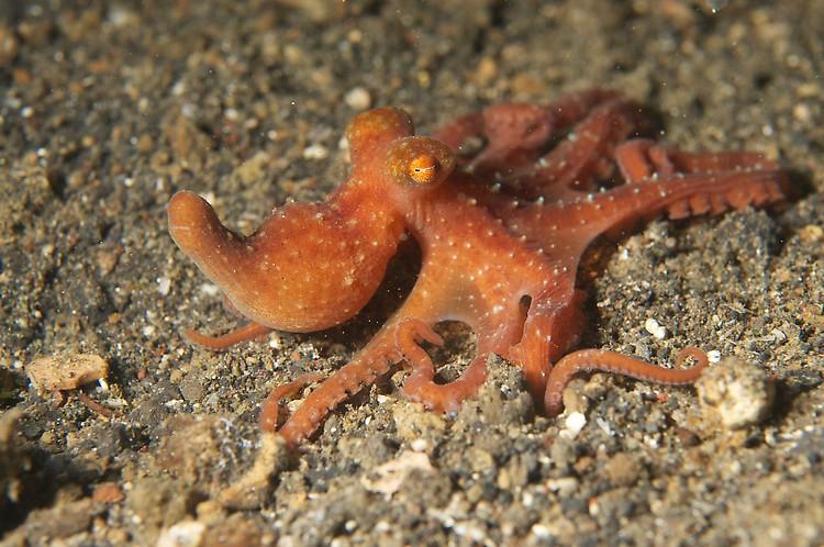 starry night octopus (octopus luteus) 2