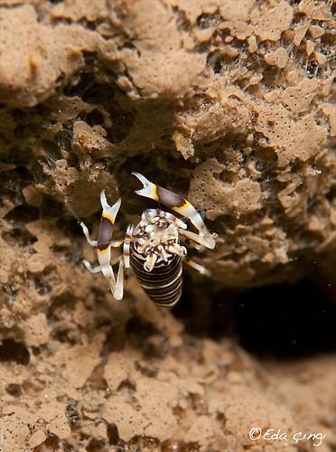bumblebee-shrimp-edit