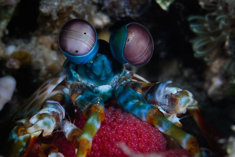 Odontodactylus scyllarus - Peacock mantis with eggs Lembeh Strait Indonesia August 2014