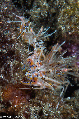 Phyllgnathia ceratophthalmus Tiger Shrimps Lembeh Strait Indonesia 2014