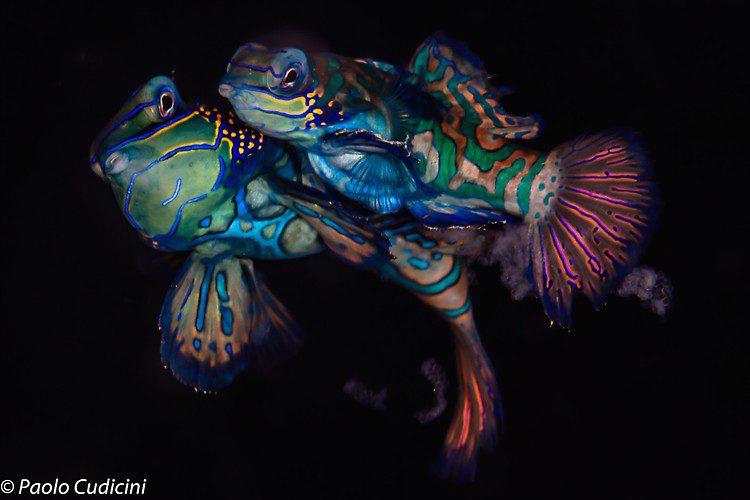 Mandarinfish, Synchiropus splendidus, Lembeh Strait Indonesia, August 2014