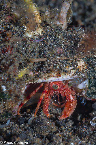 Dardanus pedunculatus. Left-handed Hermit Crab Lembeh Strait Indonesia August 2014