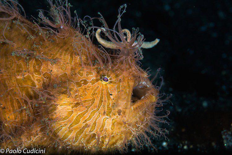 Antennarius striatus Hairy Frogfish Lembeh Strait Indonesia August 2014