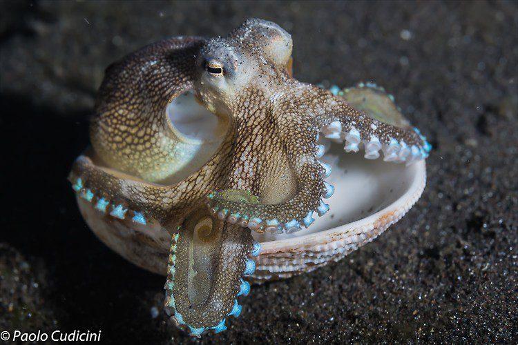 Amphioctopus marginatus Coconut Octopus Lembeh Strait Indonesia August 2014