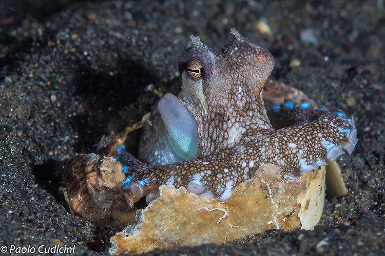 Coconut Octopus, Amphioctopus marginatus Lembeh Strait Indonesia August 2014