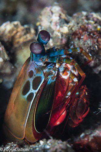 Peacock mantis shrimp, Odontodactylus scyllarus, Lembeh Strait Indonesia August 2014