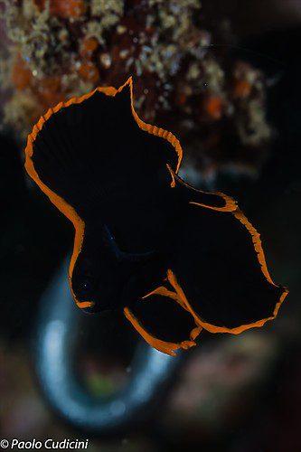 Platax pinnatus (juvenile ) Pinnate Batfish, Lembeh Strait Indonesia August 2014