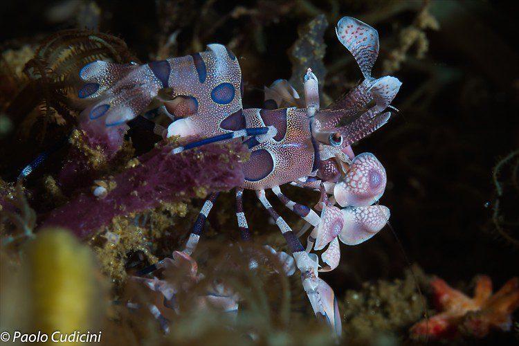 Harlequin Shrimp Hymenocera elegans Lembeh Strait Indonesia August 2014