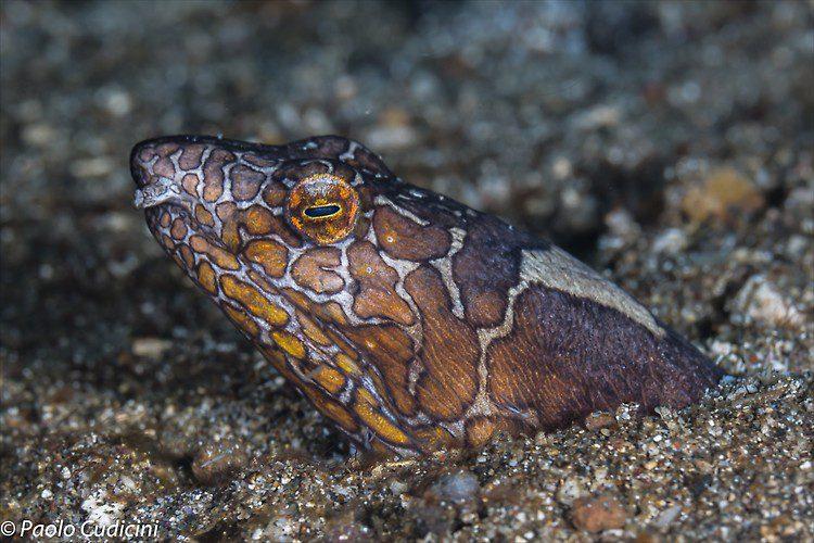 Napoleon snake eel, Ophichthus bonaparti, Lembeh Strait Indonesia August 2014