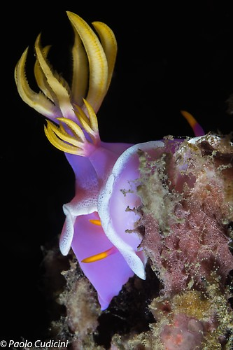 Hypselodoris apolegma Lembeh Strait Indonesia August 2014