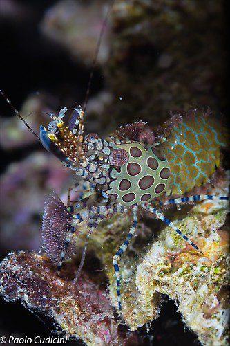 Saron spp. Marbled Shrimp Complex Lembeh Strait Indonesia August 2014