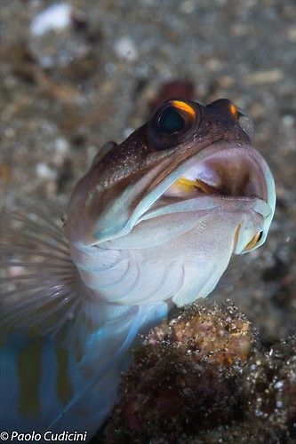 Yellow Barred Jawfish Opistognathus sp Lembeh Strait Indonesia August 2014
