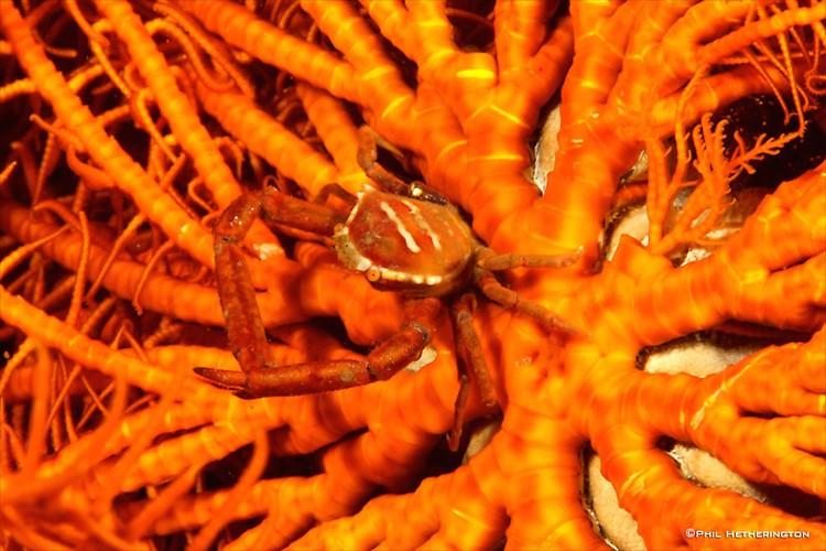 Crinoid-Crab---PH