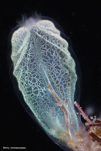 Ascidian---PH