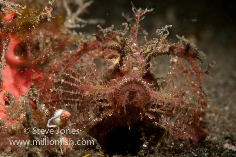 Ambon Scorpionfish (Pteroidichthys amboinensis), Lembeh Resort, Indonesia, June 2013