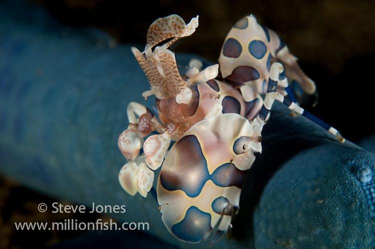 Harlequin Shrimp (Hymenocera picta), Lembeh Resort, Indonesia, June 2013