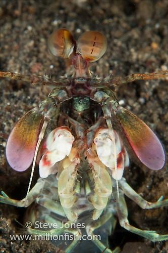 Short Back Mantis (Odontodactylus brevirostris), Lembeh Resort, Indonesia, June 2013