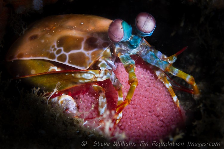 Peacock Mantis Shrimp With Eggs (Odontodactylus scyllarus), Lembeh Strait, Indonesia, July 2013