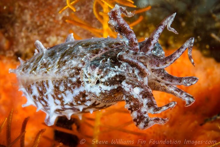 PYGMY CUTTLEFISH(Sepia bandensis), Lembeh Strait, Indonesia, July 2013