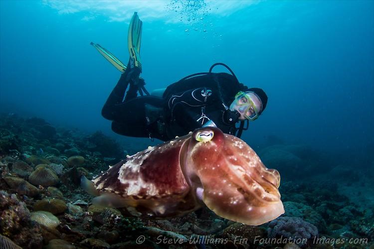 BROADCLUB CUTTLEFISH(Sepia latimanus), Lembeh Strait, Indonesia, July 2013
