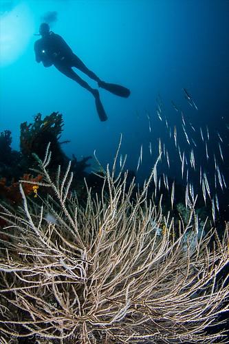 RIGID SHRIMP FISH (Centriscus scutatus), Lembeh Strait, Indonesia, July 2013