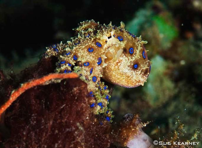 Blue-Ring-Octopus---SueK
