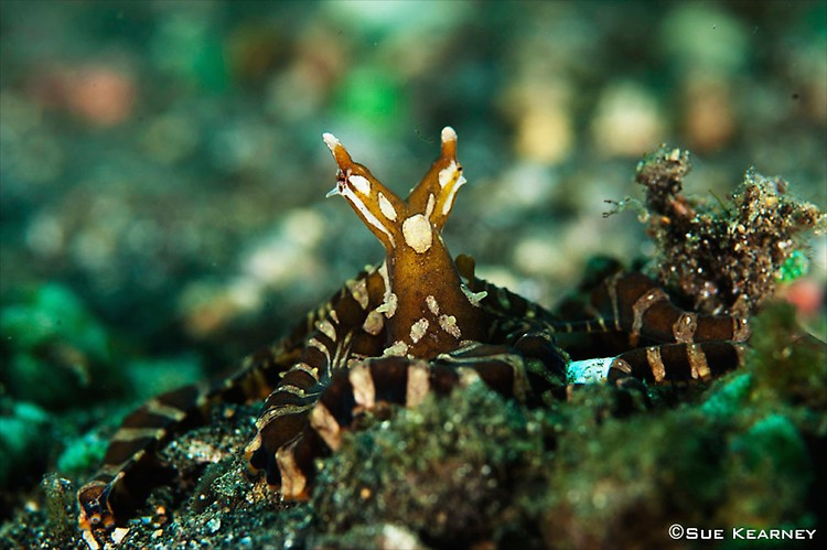 Wunderpus-Octopus---SueK