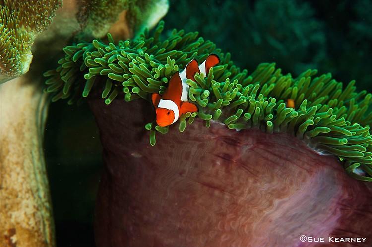 Clown-Fish---SueK
