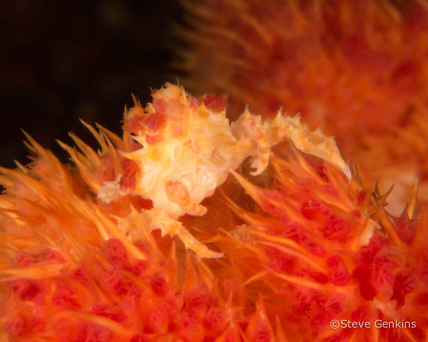Candy crab, Hoplophrys oatesi, Lembeh Strait Indonesia, March 2015