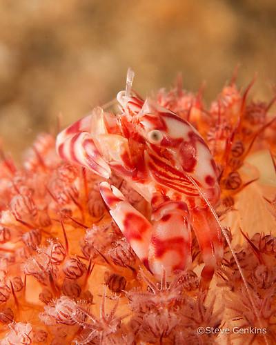 Four-lobed Porcelain crab, Lissoporcellana quadrilobata, Lembeh Strait Indonesia March 2015
