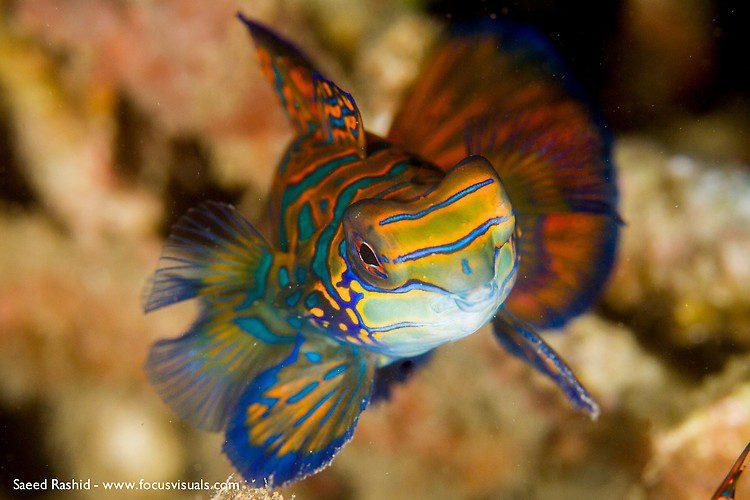 Mandarinfish (Synchiropus splendidus), Lembeh Resort Indonesia, April 2013