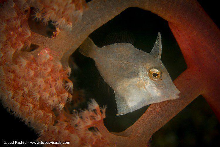 Japanese Filefish (Paramonacanthus japonicus), Lembeh Resort Indonesia, April 2013