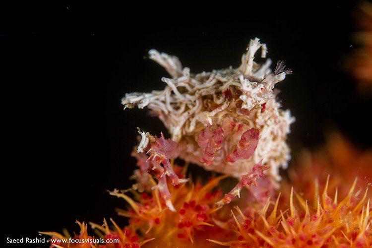 Candy crab (Hoplophrys oatesii), Lembeh Resort Indonesia, April 2013