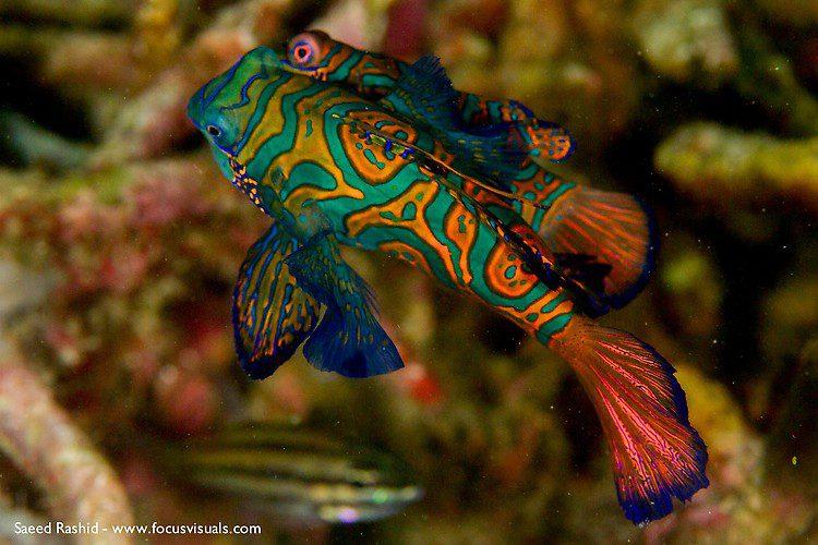 Mandarinfish (Synchiropus splendiddus), Lembeh Resort Indonesia, April 2013