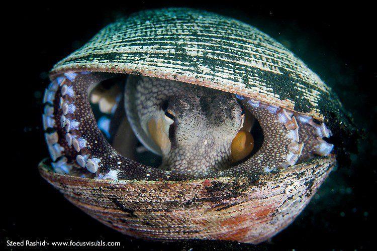 Coconut octopus (Amphioctopus marginatus), Lembeh Resort Indonesia, April 2013