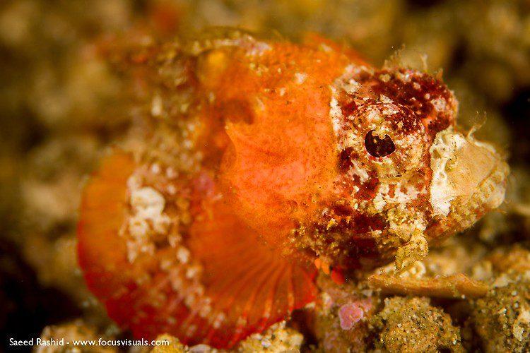 Raggy scorpionfish (Scorpaenopsis venosa), Lembeh Resort Indonesia, April 2013