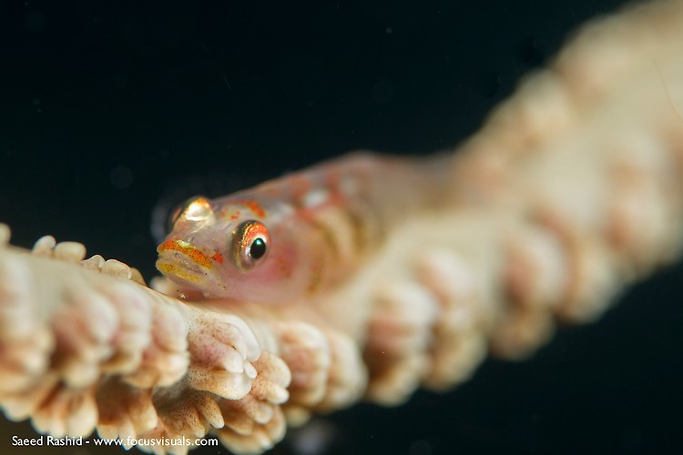 Wire coral goby (Bryaninops yongei), Lembeh Resort Indonesia, April 2013