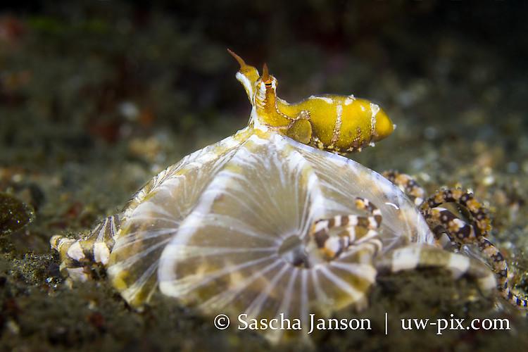Wunderpus Octopus (Wunderpus photogenicus) Lembeh Strait Indonesia 2013