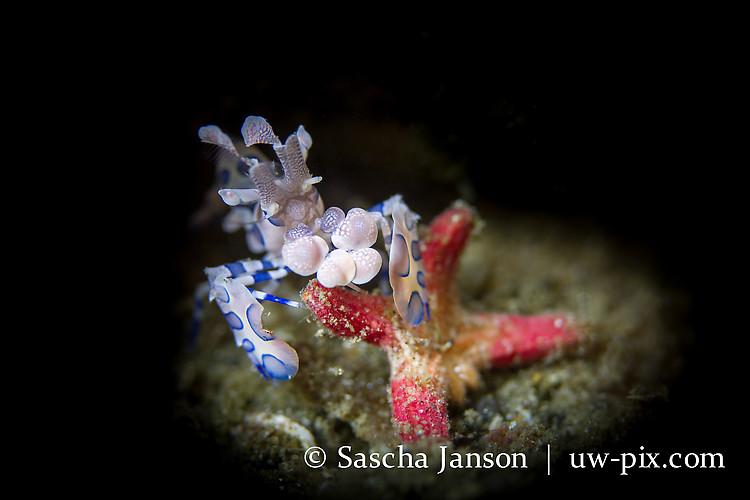 Harlequin Shrimp (Hymenocera elegans) feeding on a seastar- Lembeh Strait Indonesia 2013