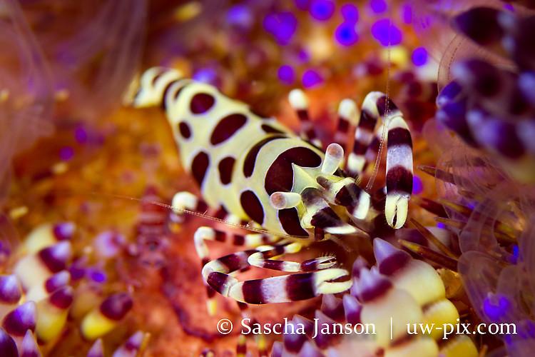 Coleman shrimp  (Periclimenes colemani), Lembeh Strait, Indonesia, 2013