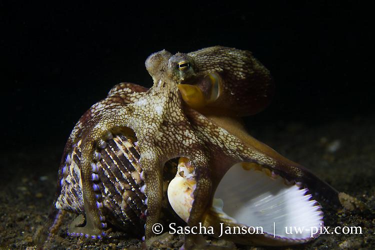 Coconut Octopus (Amphioctopus marginatus) Lembeh Strait Indonesia 2013