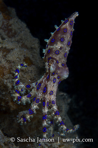 Blue-ringed Octopus (Hapalochlaena sp.) Lembeh Strait Indonesia 2013