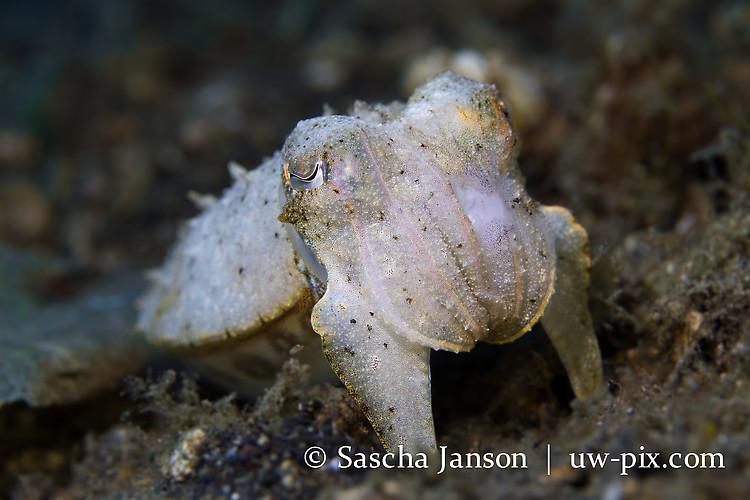 Needle Cuttlefish (Sepia aculeata) Lembeh Strait Indonesia 2013