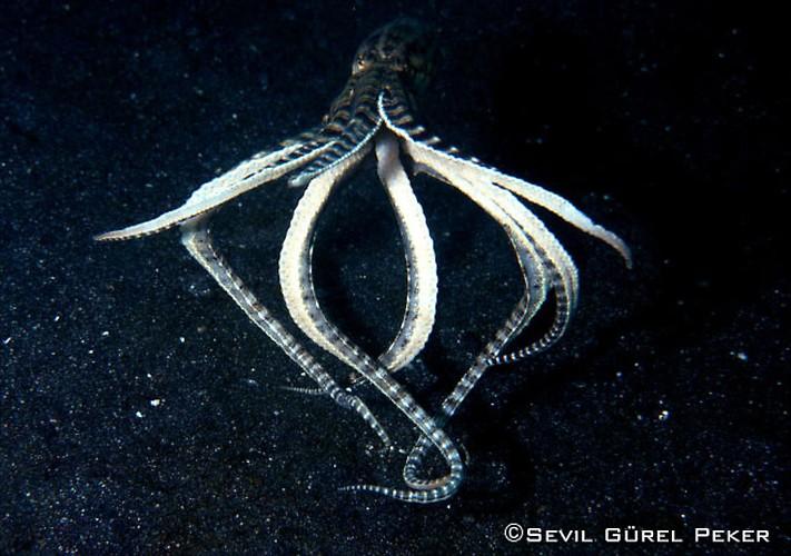 sevil-mimic