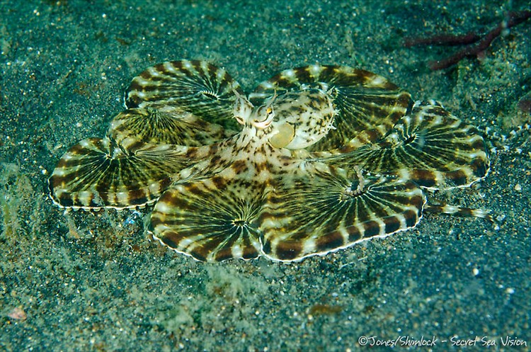 Mimic Octopus (Thaumoctopus mimicus),  Lembeh Strait, Indonesia, July2013