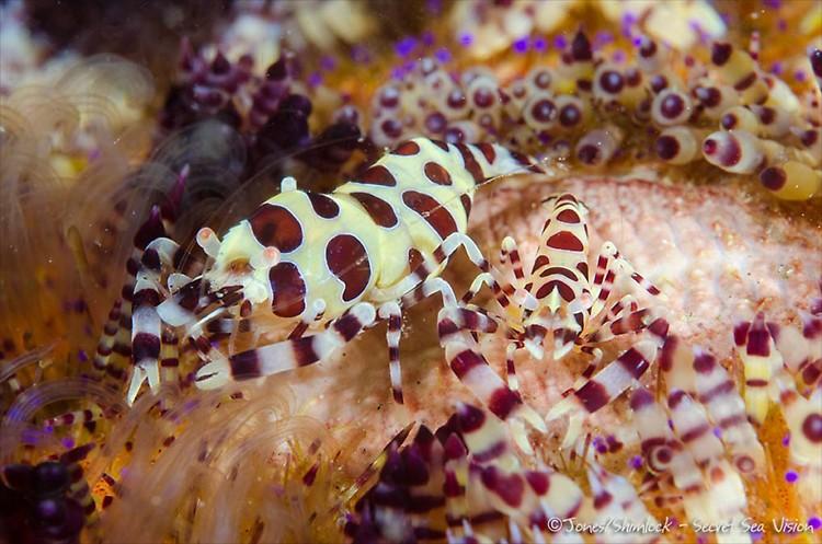 Coleman Shrimp (Periclimenes colemani) Lembeh Resort, Indonesia, July 2013