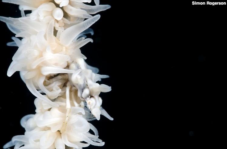 Tuberculatus Xeno crab, Xenocarcinus tuberculatus, Lembeh Strait Indonesia, March 2014