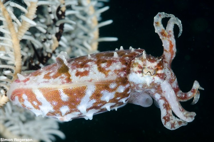 Crionid Cuttelfish (Sepia sp.2) Lembeh Strait Indonesia March 2014